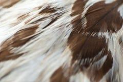 Орел оперяется крупный план Стоковое Фото