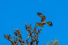Орел принимает полет от верхней части дерева стоковые фотографии rf