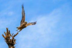 Орел принимает полет от верхней части дерева стоковое изображение