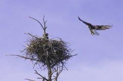 Орел приходя внутри приземлиться стоковая фотография rf