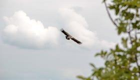 Орел против облаков с мягким деревом фокуса стоковые фото