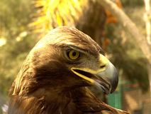 орел реальный Стоковые Фотографии RF