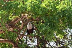 Орел рыб на дереве Serengeti, река Grumeti вышесказанного Стоковое фото RF