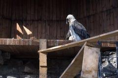 Орел сидит на дереве в строгом представлении стоковые фото