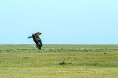 Орел степи или nipalensis Аквилы в небе стоковые фото