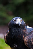 орел степи Стоковая Фотография RF