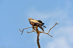 Орел степи Стоковое фото RF