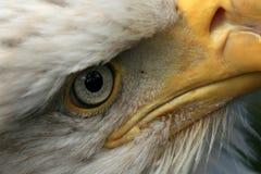 орел США Аляски облыселый Стоковая Фотография