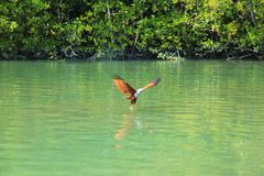 Орел с белое главным летает над Green River против предпосылки зеленых деревьев стоковая фотография rf