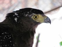 Орел с желтыми глазами от стороны стоковое фото rf