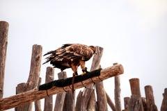 Орел черного змея стоя на ветви дерева Стоковая Фотография RF