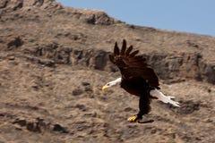 орел Стоковое Изображение