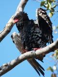 орел bateleur Стоковые Фотографии RF