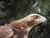 Орел loking к горам стоковая фотография