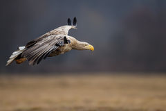 Орел бело-замкнутый взрослым в полете стоковые фото