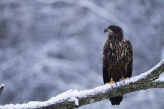 Орел бело-замкнутый юношей Стоковые Фотографии RF