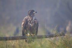 Орел бело-замкнутый юношей Стоковое Изображение RF