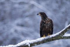 Орел бело-замкнутый юношей Стоковые Фото