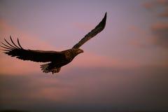 Орел вечера Стоковая Фотография