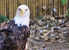 Орел вытаращить в камеру Стоковая Фотография