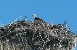 Орел в гнезде на Isla de los Pajaros Стоковые Изображения