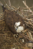 Орел в гнезде Стоковое фото RF