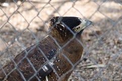Орел в клетке Стоковая Фотография