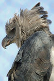Орел гарпии стоковое фото rf