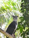 Орел гарпии Стоковые Изображения