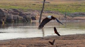 Орел летучей рыбы Стоковая Фотография