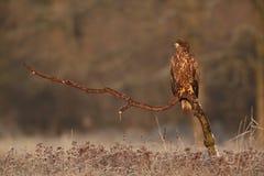 Орел замкнутый белизной Стоковое Изображение RF