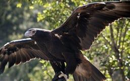 Орел замкнутый клином Стоковое Изображение RF