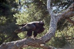 Орел замкнутый клином Стоковое фото RF