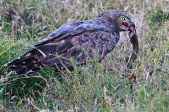 Орел змейки Брайна со своей добычей Стоковая Фотография RF