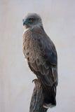 Орел змейки Стоковые Изображения