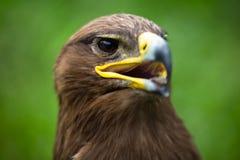 орел золотистый Стоковые Фотографии RF