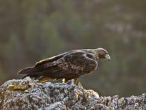 орел золотистый Стоковые Изображения RF