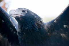 Орел кабеля клина Стоковые Фото