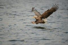 Орел моря звероловства Стоковые Изображения RF