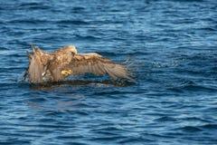 Орел моря звероловства Стоковая Фотография RF