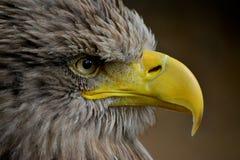 Орел моря Стоковые Изображения