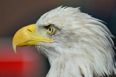 Орел моря Стоковое Изображение