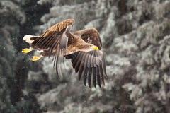 Орел моря стоковые фото
