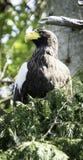 Орел моря Steller Стоковая Фотография