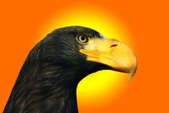 Орел моря Steller Стоковые Фотографии RF