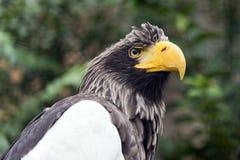 Орел моря Steller Стоковое Фото