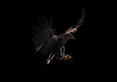 Орел приземляется изолировал на черноте Стоковые Изображения RF