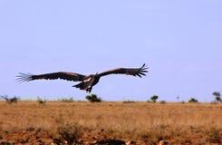 Орел принимая  Стоковая Фотография