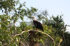 Орел рыб в дереве Стоковое Фото