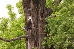 Орел рыб садить на насест на дереве стоковая фотография